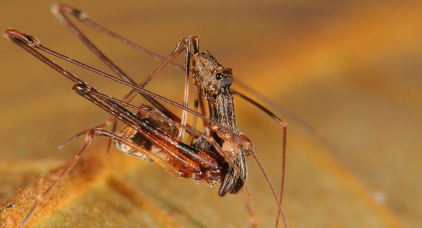 18 new pelican spider species found in Madagascar
