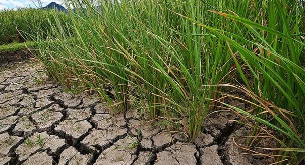 Bioengineered rice better suited for climate change, study says