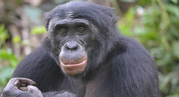 Bonobos prefer to associate with bullies, study reports