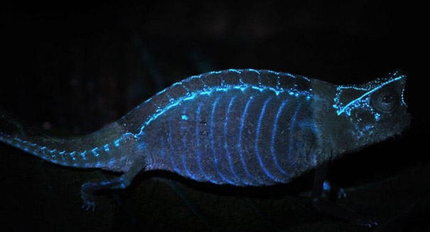 Chameleon bones glow under UV light