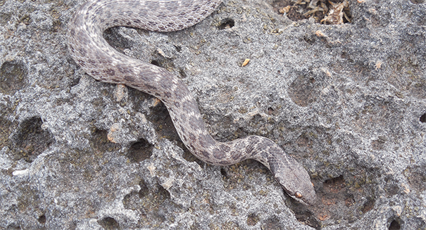 New therapy could temporarily offset snake venom