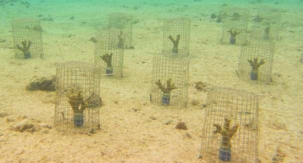 'Coral ticks' can weaken degraded reefs, study says