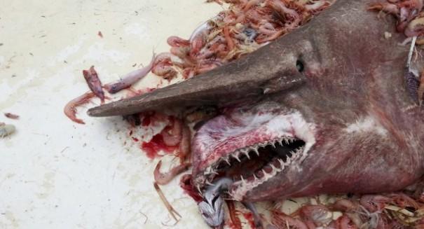 Prehistoric, shark-like fish could help rewrite aquatic predator timeline
