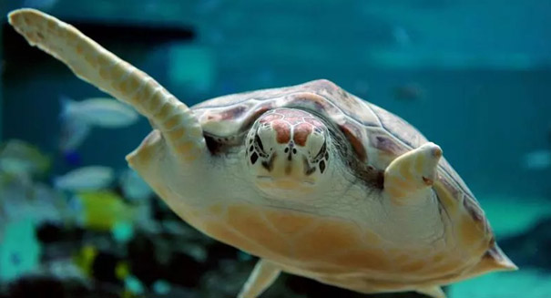 Great Barrier Reef sea turtles turning female due to climate change