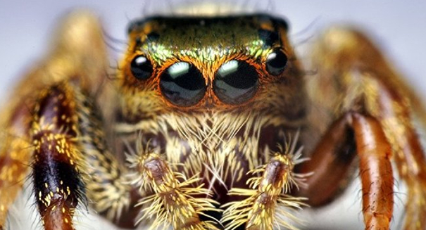 Jumping spiders could one day lead to better robots