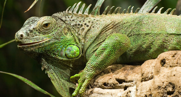 Lizards have been bipedal for millions of years, study reports