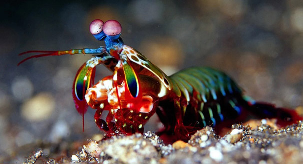 Mantis shrimp display extraordinary vision that scientists hope to mimic