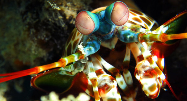 Mantis shrimp could inspire ultra-strong materials