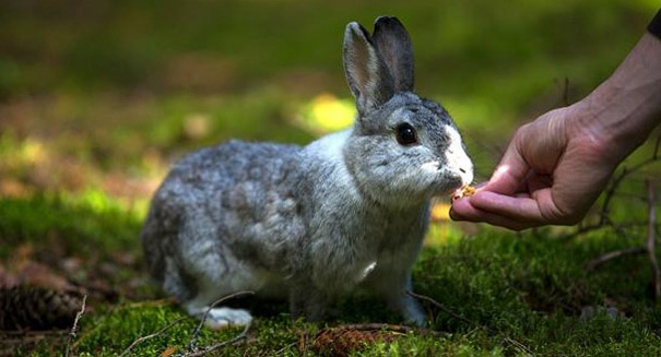 Nobody knows how rabbits became domesticated, study reports
