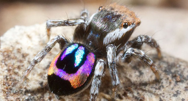 Peacock spiders could help lead to better optics, study reports