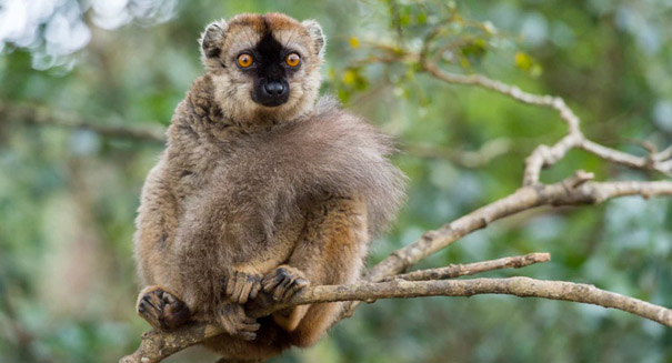 Red-fronted lemurs can point out their species in photographs