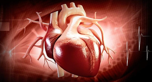 Scientists bioengineer 3-D model of human heart ventricle
