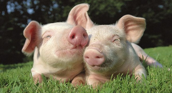 Scientists transplant lab-grown lungs into pigs