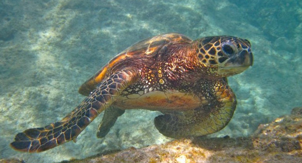 Sea turtles locate their birthplace beach using magnetic fields