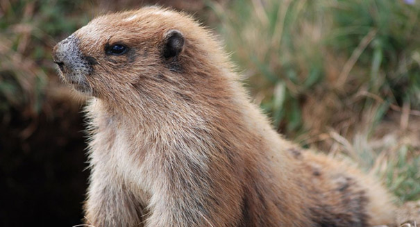 Social marmots die faster than isolated ones