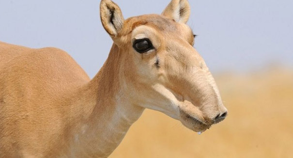 Throat bacteria responsible for large saiga antelope die-off, study reports