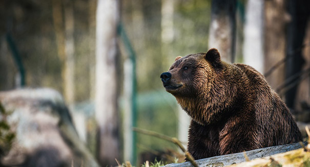 Extinct cave bear DNA discovered in living bears