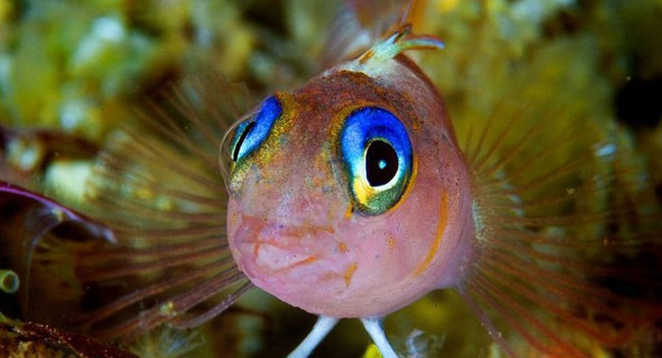Triplefin fish is able to reflect light from around its eyes