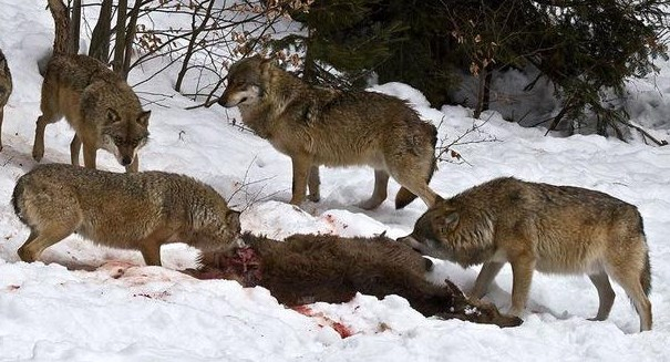 Wolves are thriving in radioactive Chernobyl