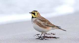 Soot-covered birds could shed new light on air pollution