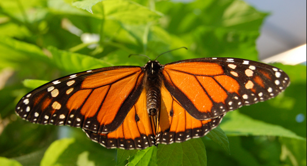 Monarch butterflies dying out in western North America