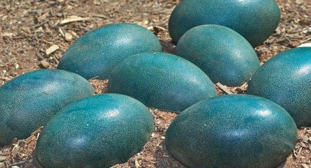 Blue dinosaur eggs suggest bird-like trait