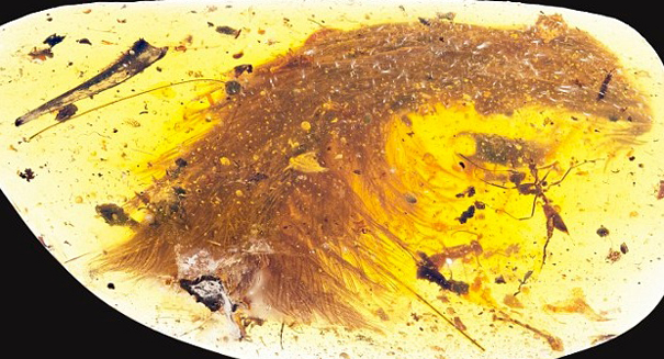 Dinosaur tail preserved in amber proves they were covered in feathers