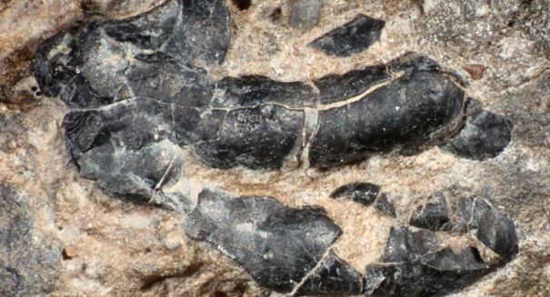 Prehistoric poo reveals plant-eating dinosaurs also ate crustaceans