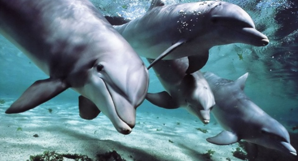 Male dolphins offer gifts of sponges to females