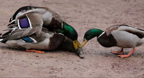 Duck penises grow when in the presence of other males, study reports