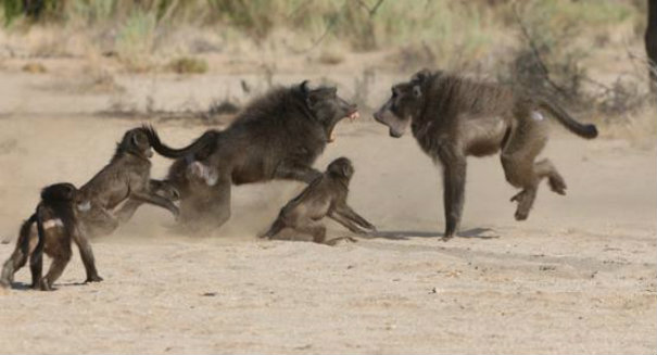Baboons have also had vowels