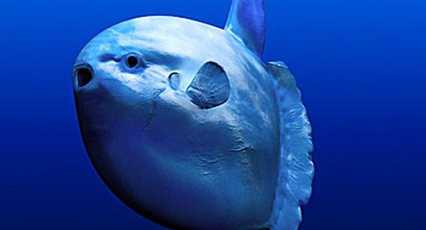 Gigantic ocean sunfish is first new species found in over 100 years