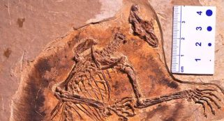 Fossils reveal evolution of early gliding mammals