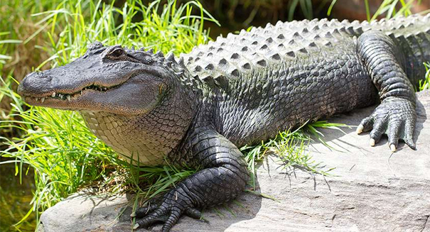 Alligators demand baby sacrifice for protection