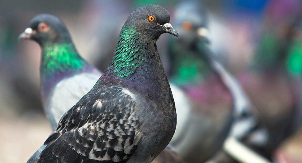 Pigeons have surprising smarts, study says