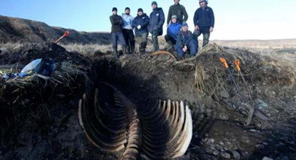 Gigantic, extinct sea cow unearthed on Siberian beach