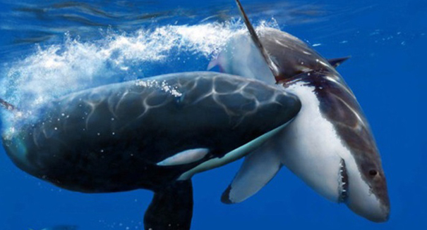 Killer whale vs. Killer Shark: who is the biggest badest predator?