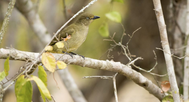 Elusive songbird may not have existed