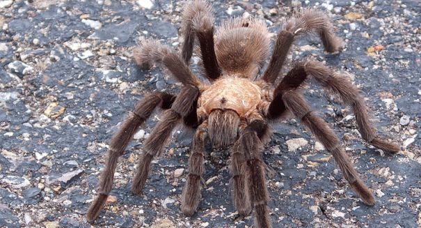Spiders may be right handed like most humans