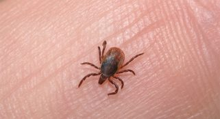 Tick that gives people meat allergies may be spreading