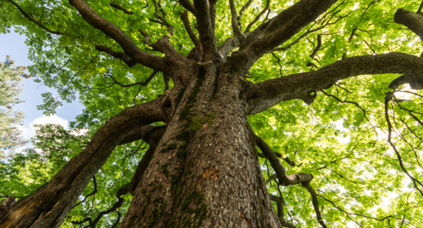 Trees can be genetically engineered not to spread, study says