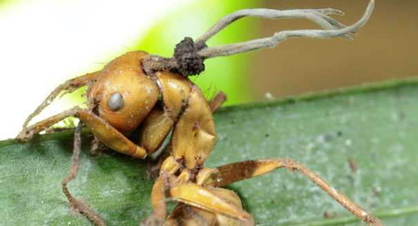 Zombie fungus takes over ants' bodies, study reports